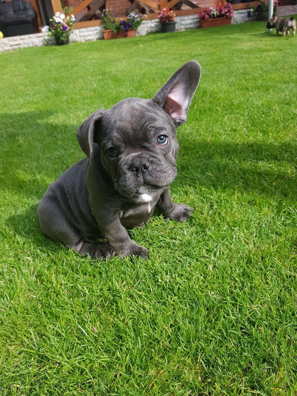 FRENCH BULLDOG PUPPIES Available | Classifieds.nz