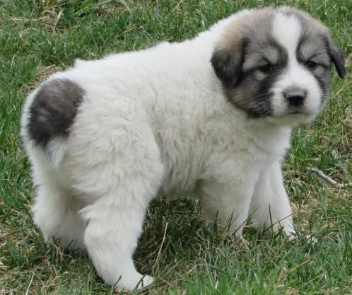 Great Pyrenees puppies for sale