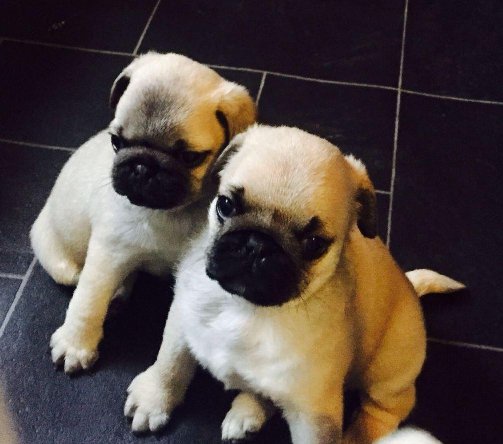 Healthy pure pug puppy available for sale