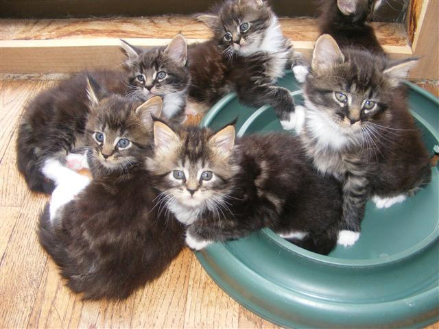 Maine Coon Kittens 10 Weeks Old $300