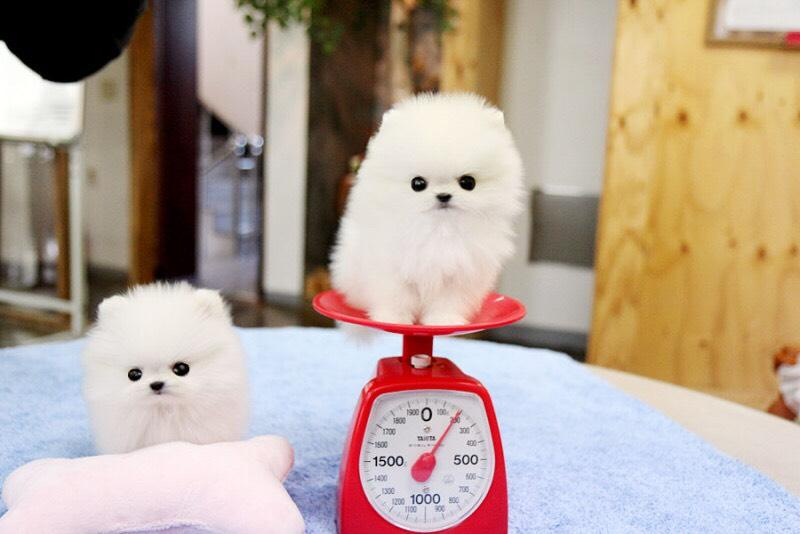 Priceless White Pomeranian Puppies