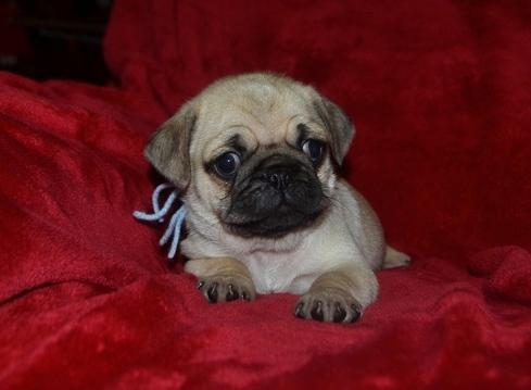 Pug Puppies Available .