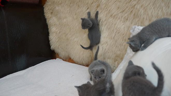Ready Pure Russian Blue Kittens Pets Age : 2 months, 20 days old $250.