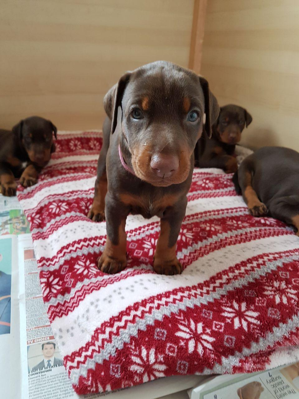Stunning Kc Reg Chocolate Dobermann Puppies
