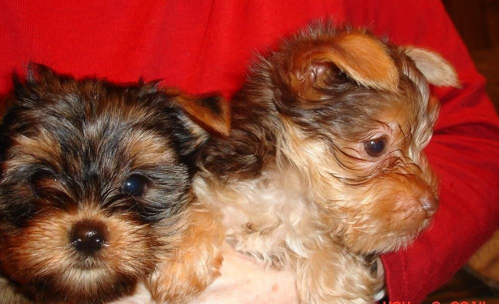 Tea Cup Yorkie and Pom Puppies for sale
