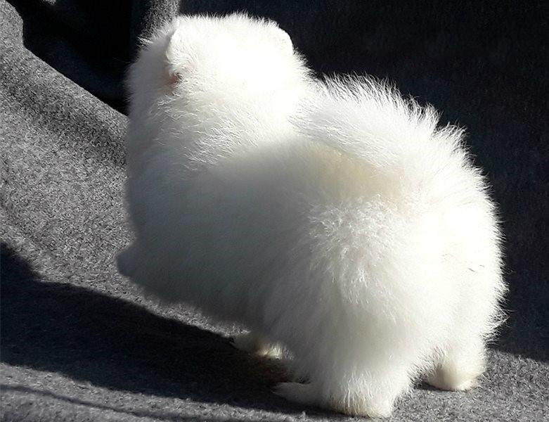 Tiny Elite Ice White Pomeranian Puppy For Sale