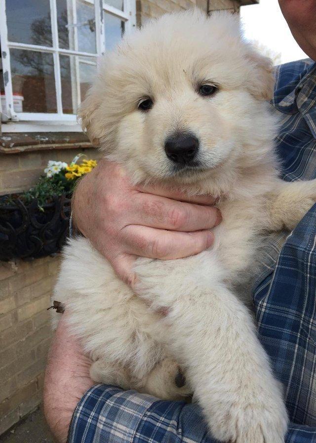 white male puppy German shepherd