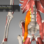 Psoas Major (orange); showing how the spinal attachments of the psoas also attach to the diaphragm