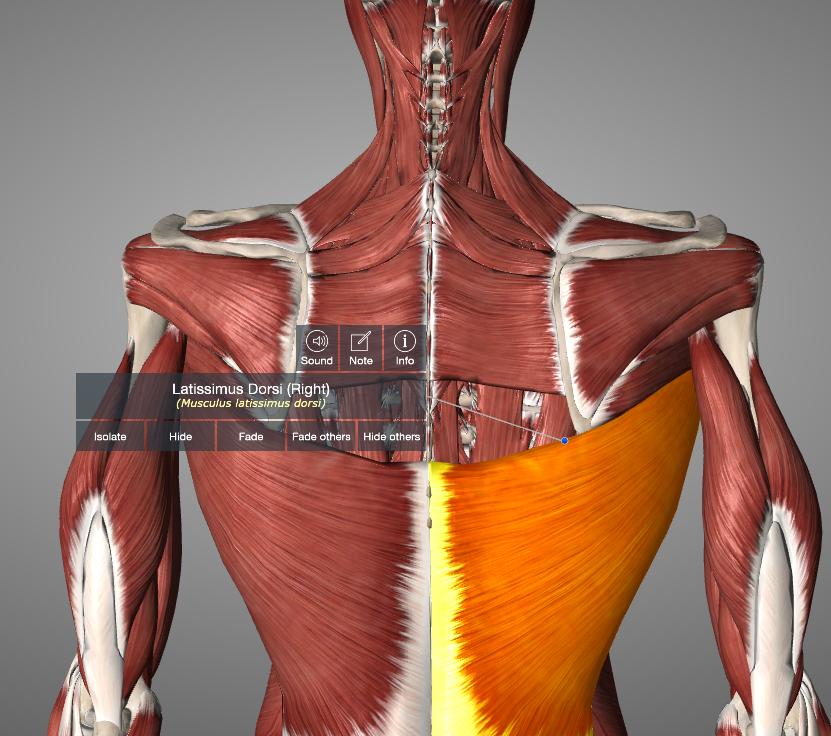 Figure 3: Latissimus Dorsi (from Essential Anatomy App)