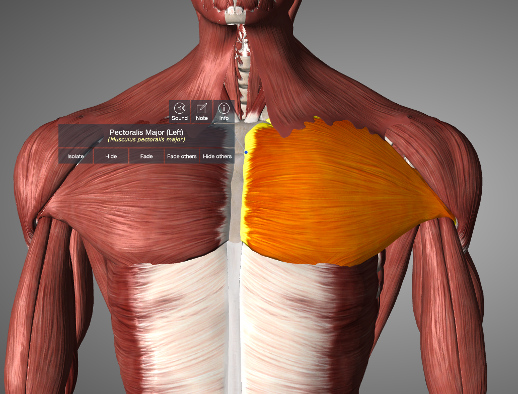 Pectoralis Major from Essential Anatomy App
