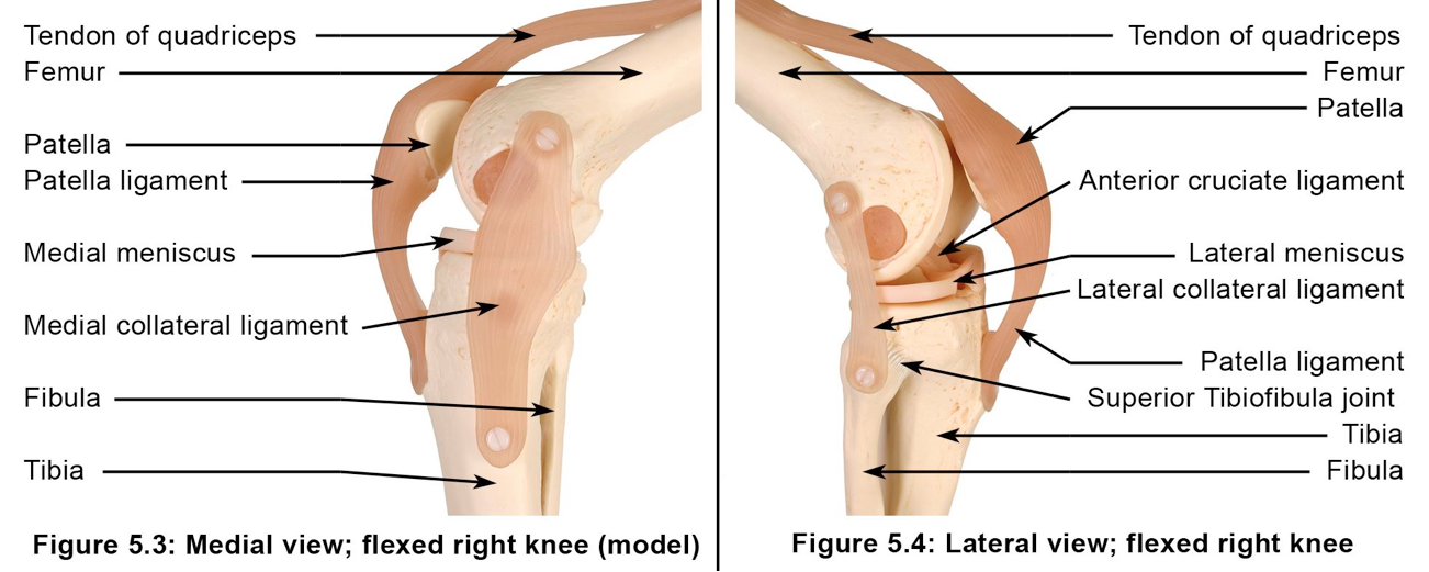 Figure 2: The knee joint complex: bone and ligament model (from the Applied Anatomy and Physiology of Yoga', Borg-Olivier and Machliss, 2005)