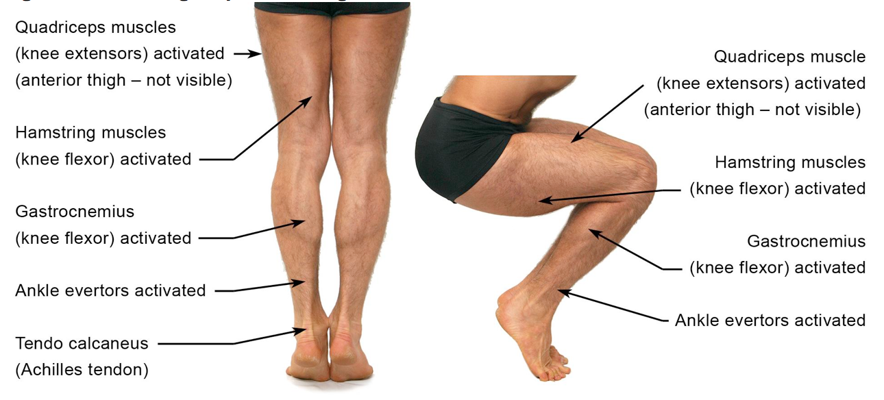 Figure 8: Muscle groups to strengthen around the knee (from the Applied Anatomy and Physiology of Yoga', Borg-Olivier and Machliss, 2005)
