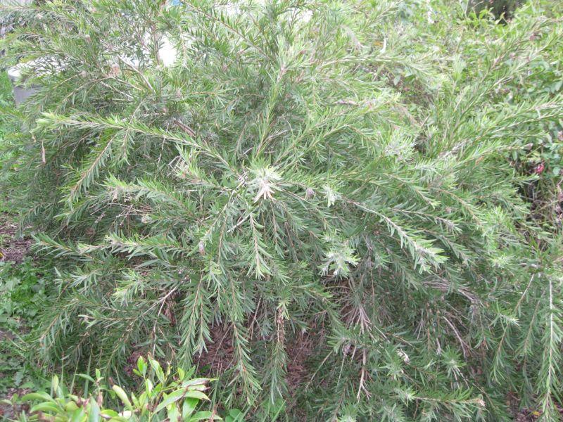 Adult Plants 81