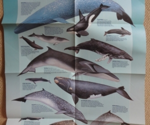 A poster of whales from the Herald Sun a while ago.