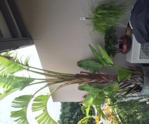 Giant bird of paradise - Strelitzia nicolai