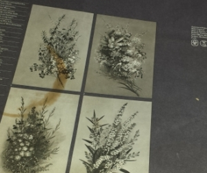Four reproductions of Australian Wild Flowers