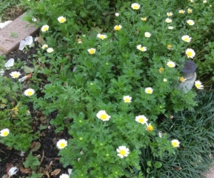 Ground Cover Small White Daisy like Seedlings