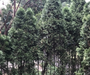 Mature conifer trees