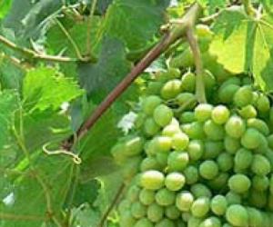 Grape vine cutting eating grapes
