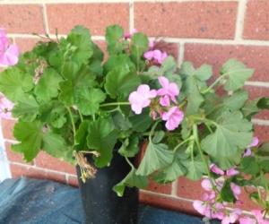 geranium cuttings pink