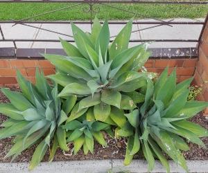 Agave Attenuata plants