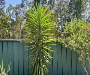 Large yucca
