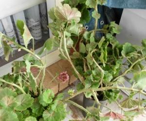 geraniums cutting