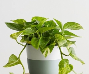 Pothos plant cuttings