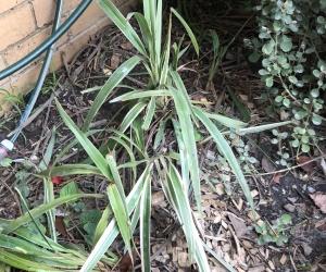 Variegated blade type plants