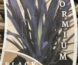 Large Phormium Black Beauty
